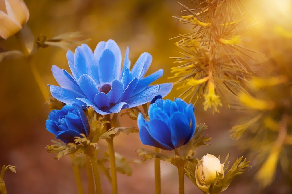 anemone, blue, flower
