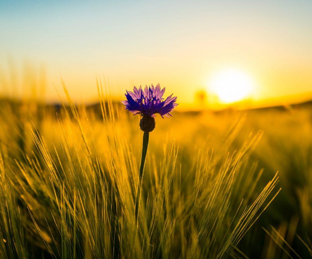 flower, cornflower, wheat field